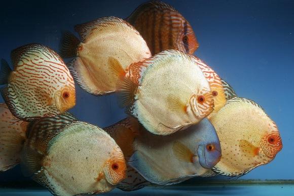 Adult discus fish
